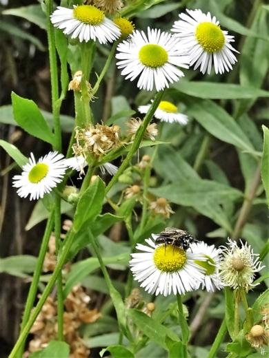 2019-08-18 LüchowSss Garten Insekten (7) Wildbienen-Paarung auf Feinstrahl
