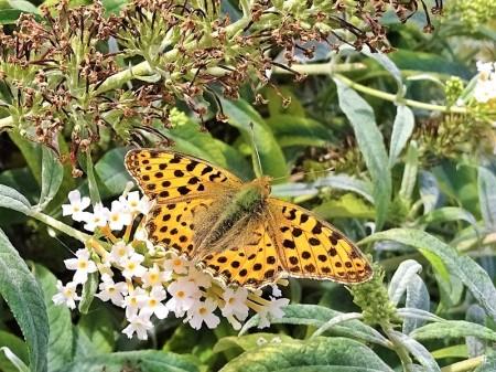 2019-08-18 LüchowSss Garten Kleiner Perlmuttfalter (Issoria lathonia) an Schmetterlingsflieder (Buddleja davidii) (4)