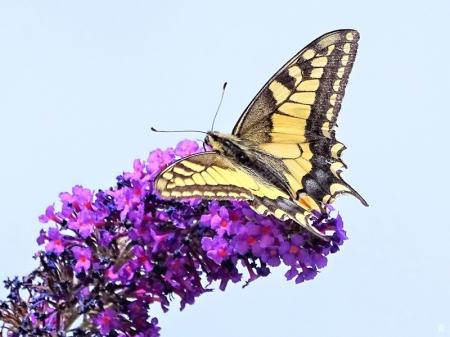 2019-08-18 LüchowSss Garten Schwalbenschwanz (Papilio machaon) + Schmetterlingsflieder (Buddleja davidii) (10)