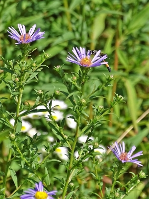 2019-08-19 LüchowSss Garten spätmorgens Belgische Glattblatt-Aster (Aster novi-belgii) + Gemeine Sandwespe (Ammophila sabulosa)