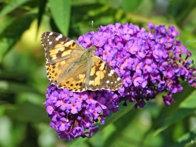 2019-08-19 LüchowSss Garten spätmorgens Distelfalter (Vanessa cardui) + Schmetterlingsflieder (Buddleja davidii) (19)