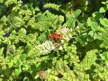 2019-08-19 LüchowSss Garten spätmorgens Hornissenschwebfliege (Volucella zonaria) (2)