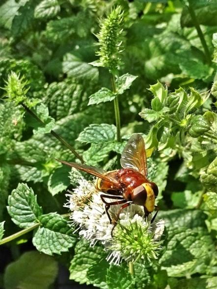 2019-08-19 LüchowSss Garten spätmorgens Hornissenschwebfliege (Volucella zonaria) (3)