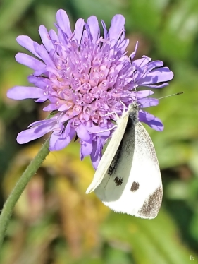 2019-08-19 LüchowSss Garten spätmorgens Kleiner Kohlweissling (Pieris rapae) auf Acker-Witwenblume (Knautia arvensis) (17)