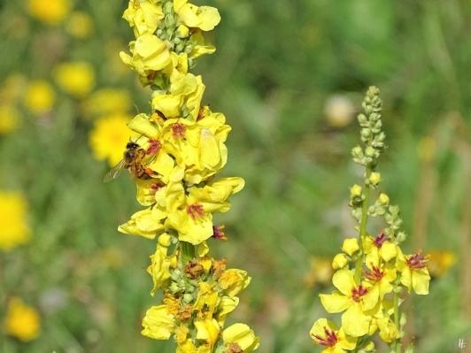 2019-08-19 LüchowSss Garten spätmorgens Schwarze Königskerze (Verbascum nigrum) mit Honigbiene (Apis mellifera 'Buckfast') (2)