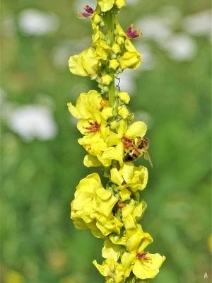 2019-08-19 LüchowSss Garten spätmorgens Schwarze Königskerze (Verbascum nigrum) mit Honigbiene (Apis mellifera 'Buckfast') (3)