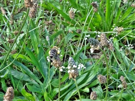 2019-08-19 LüchowSss Garten spätmorgens Spitzwegerich (Plantago lanceolata) + Honigbiene (Apis mellifera) (4)