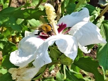 2019-08-19 LüchowSss Garten spätmorgens weisser Garteneibisch 'Red Heart' + Ackerhummel (Bombus pascuorum) + Gartenameisen