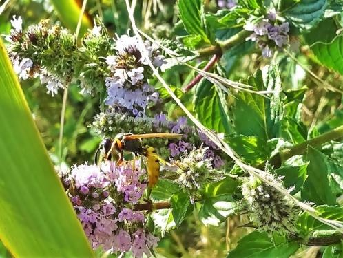 2019-08-19 LüchowSss Garten spätnachmittags Bienenwolf – (Philanthus triangulum) + Grüne Minze (Mentha spicata) (1)