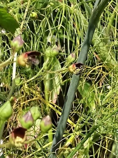 2019-08-19 LüchowSss Garten spätnachmittags Knotige Braunwurz + Wildbiene