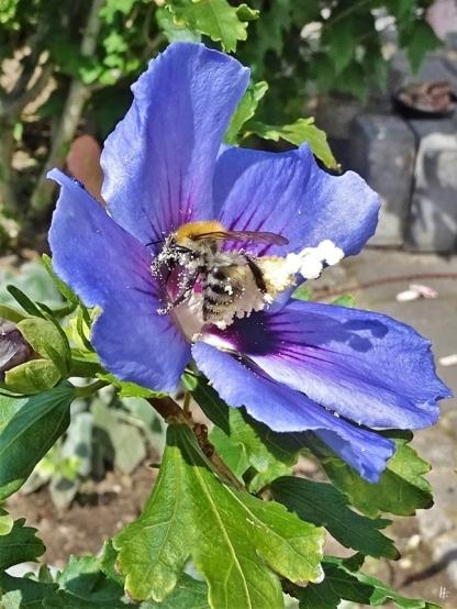 2019-08-20 LüchowSss Garten mittags Ackerhummel (Bombus pascuorum) an blauem Garteneibisch (Hibiscus syriacus) (1)