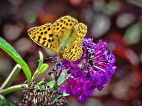 2019-08-20 LüchowSss Garten mittags Kleiner Perlmittfalter (Issoria lathonia) an Schmetterlingsflieder (Buddleja davidii) (1)
