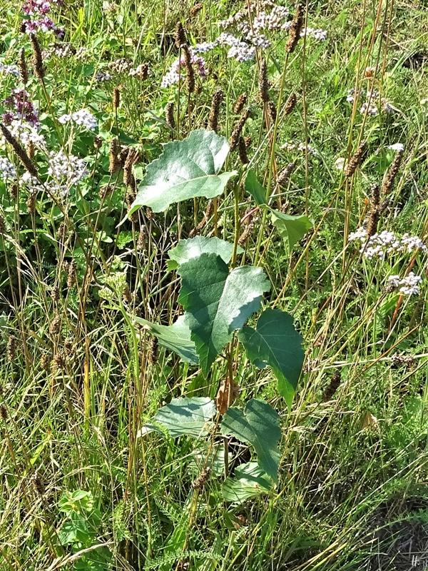 2019-08-21 LüchowSss Garten 9h morgens Junge Birke (Betula pendula)