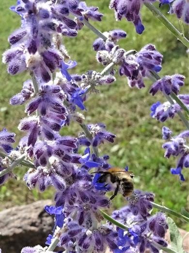 2019-08-22 LüchowSss Garten Blauraute (Perovskia abrotanoides) + Ackerhummel (Bombus pascuorum)