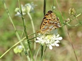 2019-08-22 LüchowSss Garten Gelb-Skabiose (Scabiosa ochroleuca) +Perlmuttfalter (Issoria lathonia)