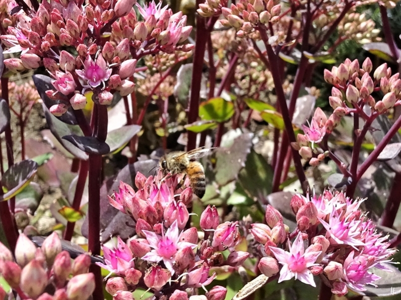 2019-08-22 LüchowSss Garten Hohe Fetthenne (Sedum telephium) 'Matrona' mit Honigbiene (Apis mellifera)