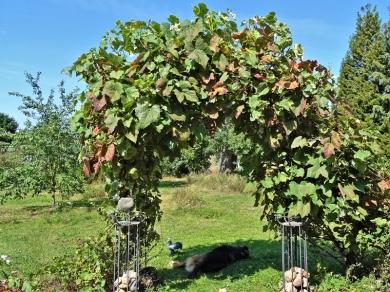 2019-08-22 LüchowSss Garten Wein-Bogen voller Trauben