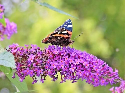 2019-08-30 LüchowSss Garten Admiral (Vanessa atalanta) + Schmetterlingsflieder (Buddleja davidii) (1)