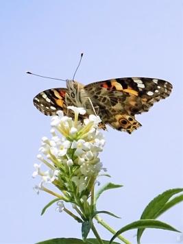 2019-08-30 LüchowSss Garten Distelfalter (Vanessa cardui) + Schmetterlingsflieder (Buddleja davidii) (1)