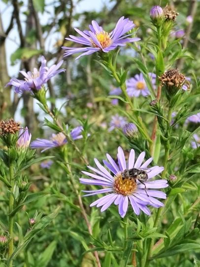 2019-08-30 LüchowSss Garten Herbstaster + Schwarze Augenfleck-Schwebfliege (Eristalinus sepulchralis)