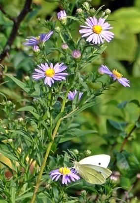 2019-08-30 LüchowSss Garten Herbstastern bzw. Belgische Glattblattastern (Aster novi-belgii) + Grossen Kohlweissling (Pieris brassicae)