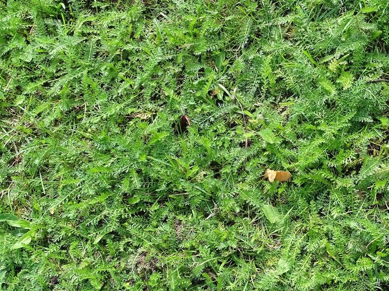 2019-08-30 LüchowSss Garten Wiesen-Schafgarbe (Achillea millefolium)