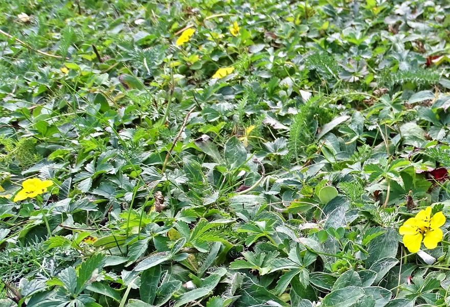 2019-08-30 LüchowSssGarten Kleine Habichtskraut (Hieracium pilosella), auch Mausohr-Habichtskraut + Wiesen-Schafgarbe (Achillea millefolium)+ Kriechendes Fingerkraut (Potentilla reptans)