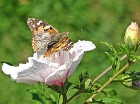 2019-09-02 LüchowSss Garten Distelfalter (Vanessa cardui) + Garteneibisch (Hibiscus syriacus)