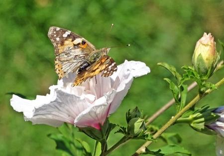 2019-09-02 LüchowSss Garten Distelfalter (Vanessa cardui) + Garteneibisch (Hibiscus syriacus)'China Chiffon Bricutt'