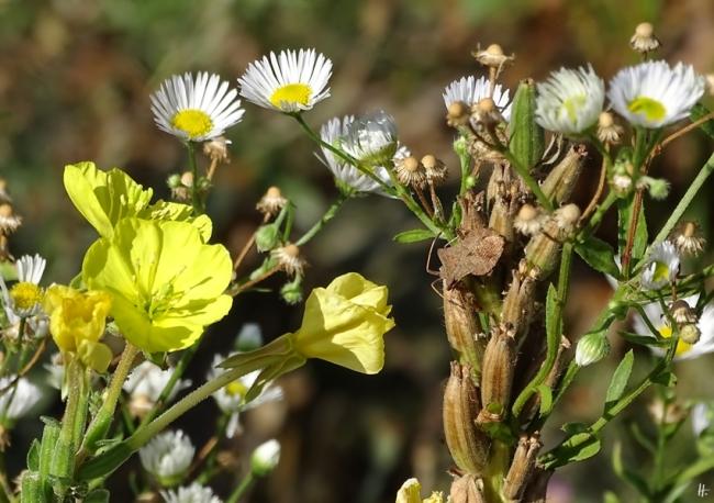 2019-09-02 LüchowSss Garten Feinstrahl od. Weisses Berufkraut (Erigeron annuus) + Gewöhnliche Nachtkerze (Oenothera biennis) + Lederwanze (Coreus marginatus)