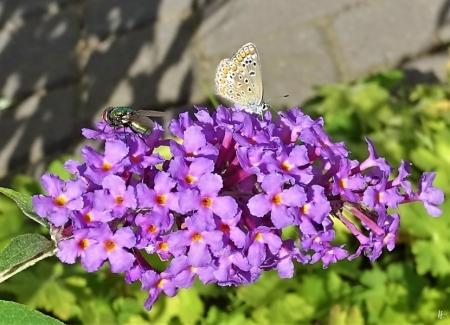 2019-09-02 LüchowSss Garten sehr kleiner Bläuling auf Schmetterlingsflieder + Goldfliege als Grössenvergleich (2)