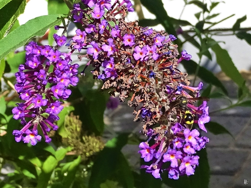 2019-09-06 LüchowSss Garten Töpferwespe (Eumenes coronatus) auf Schmetterlingsflieder