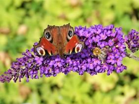 2019-09-08 LüchowSss Garten Schmetterlingsflieder (Buddleja davidii) + Tagpfauenauge (Inachis io) + Ackerhummel (Bombus pascuorum)