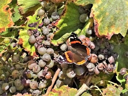 2019-09-10 LüchowSss Garten Admiral (Vanessa atalanta) + Weintrauben (Vitis vinifera subsp. vinifera)