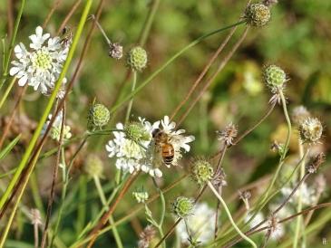 Gelb-Skabiose + Honigbiene