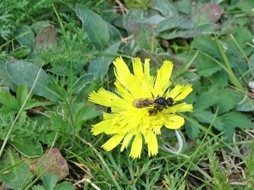 Mausohr-Habichtskraut mit Wildbienen-Paarung