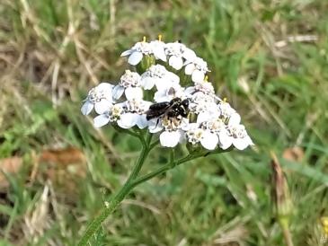 Wiesen-Schafgarbe + Wildbienen-Pärchen