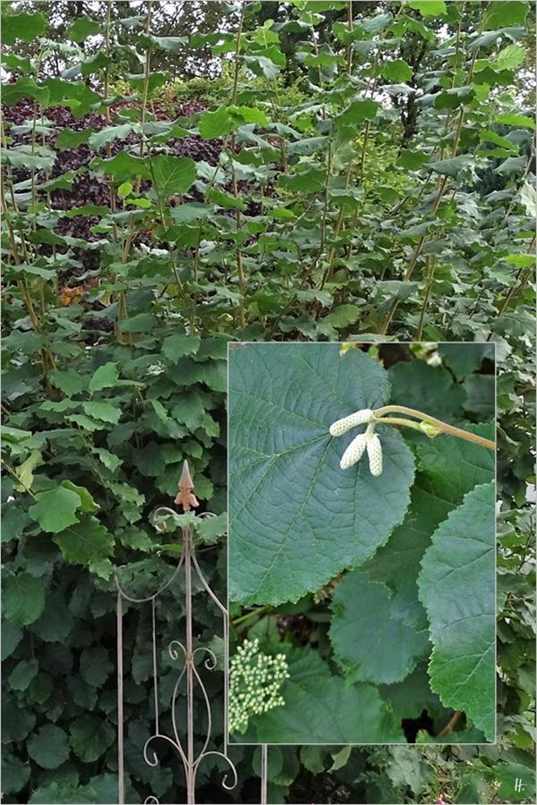 2019-09-12 LüchowSss Garten Hasel (Corylus avellana) (1+3)