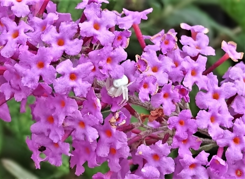 2019-09-12 LüchowSss Garten weisse Veränderliche Krabbenspinne (Misumena vatia) + Schmetterlingsflieder (Buddleja davidii)