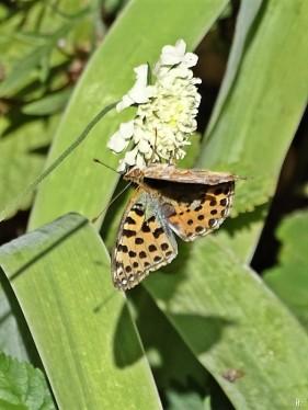 2019-09-14 LüchowSss Garten Kleiner Perlmuttfalter (Issoria lathonia) auf Gelb-Skabiose (Scabiosa ochroleuca) (3)