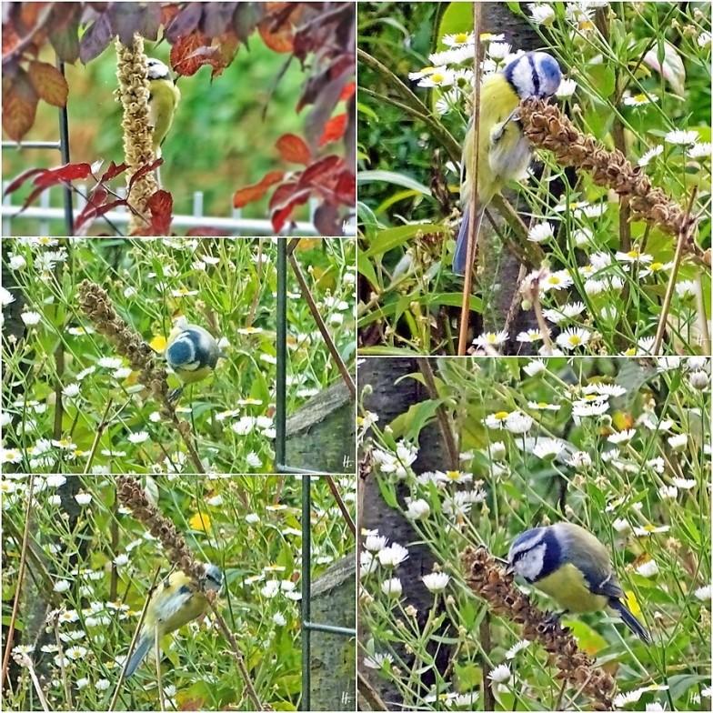 2019-09-20 LüchowSss Garten Blaumeise (Cyanistes caeruleus) an den Samen der Kleinblütigen Königskerze (Verbascum thapsus) (1x5)