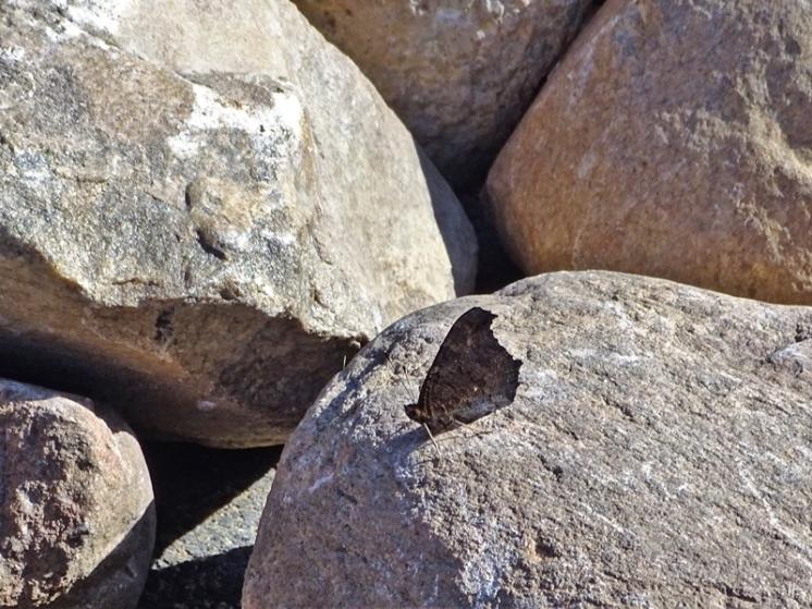 2019-09-22 LüchowSss Garten Tagpfauenauge auf Steinen (2)
