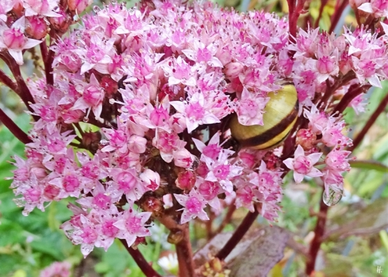 2019-09-25 LüchowSss Garten bei Regen Hain-Bänderschnecke (Cepaea nemoralis) in Hoher Fetthenne (Sedum telephium)