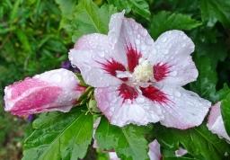 2019-09-25 LüchowSss Garten bei Regen Garteneibisch (Hibiscus syriacus))
