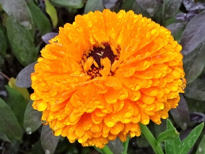 2019-09-25 LüchowSss Garten bei Regen Ringelblume