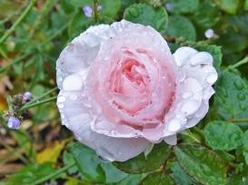 2019-09-25 LüchowSss Garten bei Regen Rose 'Aspirin'