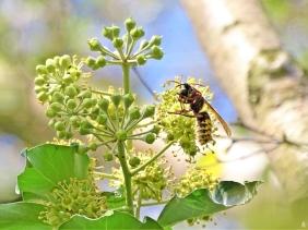 2019-09-28 LüchowSss Garten Efeu (Hedera helix) an Birke + Hornisse (Vespa crabro) mit erbeuteter Wespe