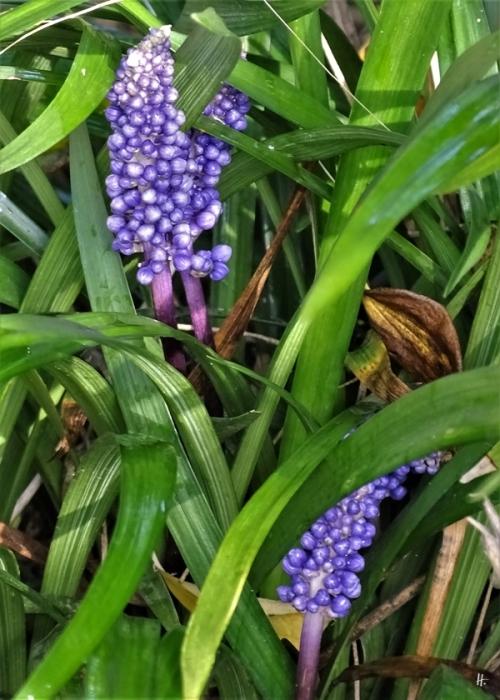 2019-09-28 LüchowSss Garten Lilientraube od. Traubenlilie (Liriope muscari) (1)