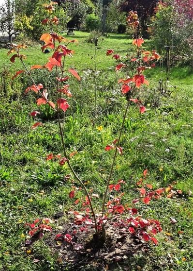 2019-09-28 LüchowSss Garten Gewöhnlicher Schneeball (Viburnum opulus) neu gepflanzt (1)