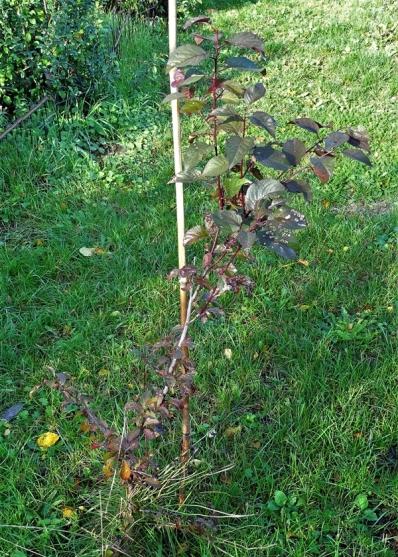2019-10-02 LüchowSss Garten Blutpflaume (Prunus cerasifera)